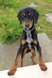 chien de chasse noir et brun Aileron-à oreilles photographie stock libre de droits