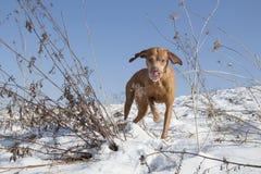 Chien de chasse pour une promenade photos libres de droits