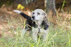 Chien de chasse supérieur de chasse de lapin de briquet Photos stock