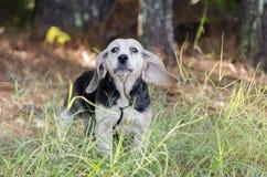 Chien de chasse supérieur de chasse de lapin de briquet Images libres de droits