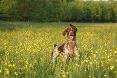 Chien de chasse sur un champ avec les fleurs jaunes prêtes pour jouer photographie stock libre de droits