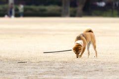 Chien de Chiba Photo libre de droits