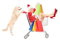 Chien de chien d'arrêt poussant une femme utilisant le costume de Santa Claus Images libres de droits