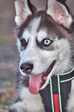 Chien de chien de traîneau de chiot Images libres de droits