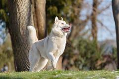 Chien de chien de traîneau sibérien dans l'outdoore Photos stock