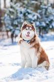 Chien de chien de traîneau sibérien jouant dehors Photographie stock
