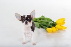 Chien de chiwawa avec des tulipes d'isolement sur le blanc Photos stock