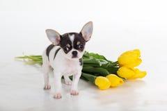 Chien de chiwawa avec le bouquet des tulipes jaunes Images stock