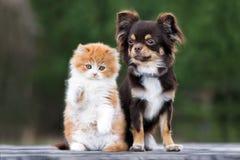 Chien de chiwawa avec le chaton pelucheux ensemble dehors Photo libre de droits