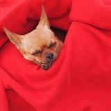 Chien de chiwawa de sommeil sur le fond rouge. Image stock