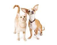 Chien de chiwawa et jeune Tabby Cat orange Photos libres de droits