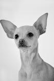 Chien de chiwawa sur le backgroun blanc, noir et blanc Photos libres de droits