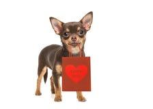 Chien de chiwawa tenant le sac rouge de cadeau avec amour que vous textotez Photographie stock