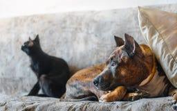 Chien de combat et un chat noir se reposant sur le sofa Photo libre de droits