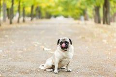 Chien de Cutie marchant sur le fond de nature Concept d'animal familier Image stock