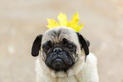 Chien de Cutie marchant sur le fond de nature Concept d'animal familier Photos libres de droits