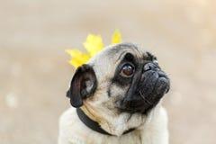Chien de Cutie marchant sur le fond de nature Concept d'animal familier Images stock