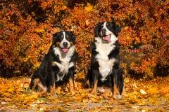 Chien de deux Bernese extérieur Photo libre de droits