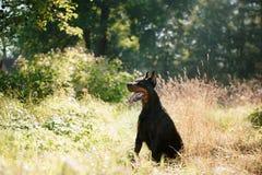 Chien de dobermann, bel animal familier Images stock