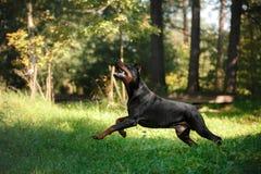 Chien de dobermann, bel animal familier Photos libres de droits