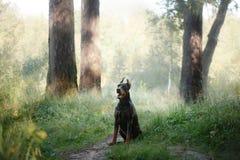 Chien de dobermann, bel animal familier Photographie stock libre de droits