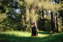 Chien de dobermann, bel animal familier Photo stock