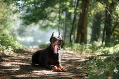 Chien de dobermann, bel animal familier Photographie stock