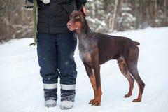 Chien de dobermann de Brown tenant le chien-amateur proche d'homme à la neige, saison d'hiver Photo stock