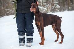 Chien de dobermann de Brown tenant le cynologist proche d'homme à la saison d'hiver Image stock