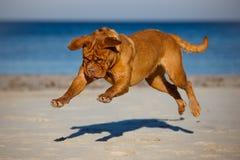 Chien de Dogue de bordeaux fonctionnant sur une plage Image stock