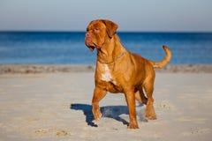 Chien de Dogue de bordeaux fonctionnant sur une plage Photographie stock