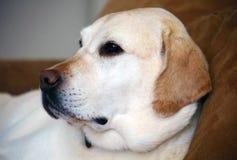 Chien de famille de meilleur ami de labrador retriever Photo stock