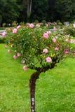 Chien de floraison rose ou Rosa Canina dans le jardin Photographie stock libre de droits