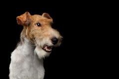 Chien de Fox Terrier sur le fond noir d'isolement image libre de droits