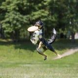 Chien de frisbee Photographie stock libre de droits