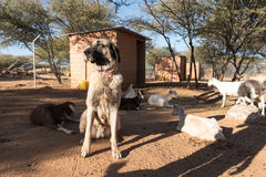 Chien de garde dans le corral avec des chèvres photographie stock libre de droits