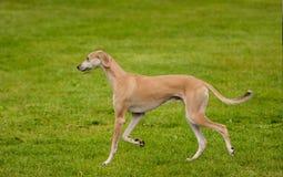 Chien de gazelle gaiting à travers la pelouse Photographie stock