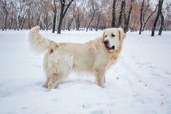 Chien de golden retriever observant en parc d'hiver Photo stock