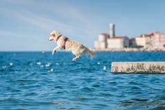 Chien de golden retriever sautant dans la mer Image stock
