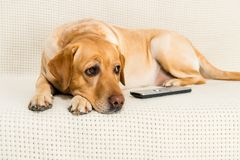chien de golden retriever se trouvant sur le sofa avec la TV photo stock