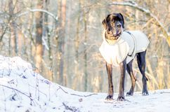 Chien de great dane dans la position d'hiver Image libre de droits