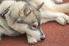 Chien de Grey Husky se trouvant sur une orange de tapis roulant photo libre de droits