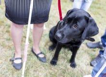 Chien de guide noir de Labrador photo stock