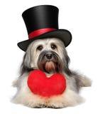 Chien de Havanese de valentine d'amant avec un coeur rouge et un chapeau supérieur noir Photographie stock libre de droits