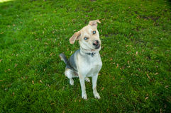 Chien de Husky Labrador Mutt Mixed Breed avec des yeux bleus Images stock