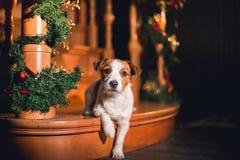 Chien de Jack Russell à Noël Photos stock