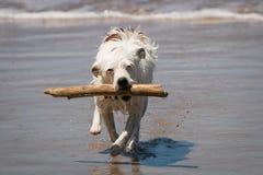 Chien de Jack Russell appréciant l'amusement cherchant un bâton dans les vagues à une plage Photographie stock libre de droits