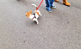 Chien de Jack Russell marchant dans la ville photo stock
