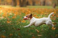 Chien de Jack Russell Terrier avec des feuilles or et couleur rouge, promenade en parc Photo stock