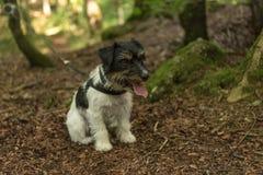 Chien de Jack Russell Terrier dans la forêt photos libres de droits